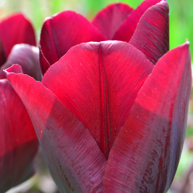 Tulipandag i Herregårdshaven